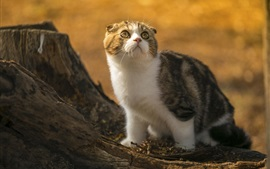 Preview wallpaper Cute scottish fold cat, look, stump, sunlight