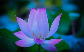 Flower, lotus, petals, dawn