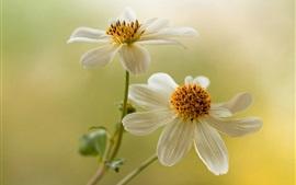 Flores, dálias brancas