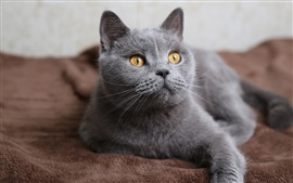 Preview wallpaper Gray cat, face, yellow eyes