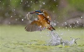 Martín pescador captura de peces, las salpicaduras de agua