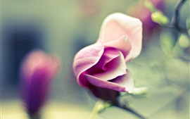 Preview wallpaper Pink flower, rose, blossom, blur background