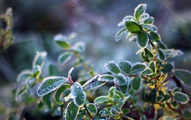 Preview wallpaper Plant leaves, frost, cold, crystals