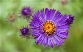 Preview wallpaper Purple aster flower close-up