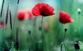Red flowers, poppies, green bokeh