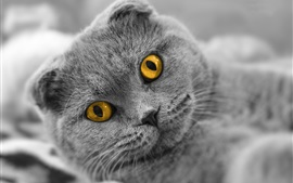 Preview wallpaper Scottish fold cat, yellow eyes
