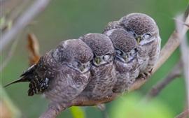 Búhos manchados, familia
