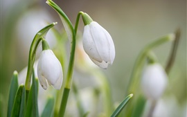Preview wallpaper Spring flowers, snowdrops