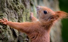 Aperçu fond d'écran Écureuil, arbre, écorce