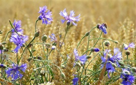 Preview wallpaper Wheat field, blue flowers, cornflowers, summer