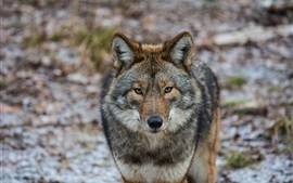 Preview wallpaper Animals close-up, coyote