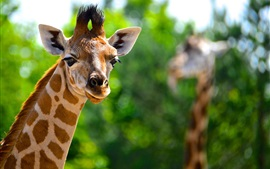 Animais close-up, girafa