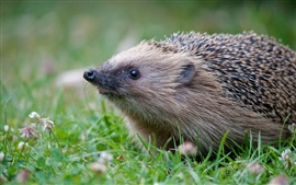 Preview wallpaper Animals close-up, hedgehog, grass