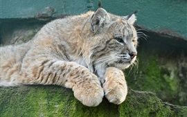 Animais close-up, lince, gato, pedra