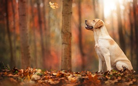 Preview wallpaper Autumn, forest, leaf, dog