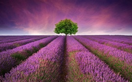 Beautiful lavender field, purple flowers, lonely tree