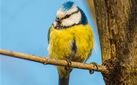 Bird, yellow blue feather, branch, trunk