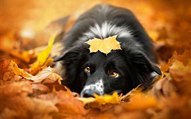 Preview wallpaper Black dog, autumn, red leaves