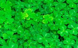 Aperçu fond d'écran Trèfle, feuilles vertes