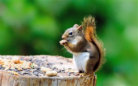 Cute squirrel, stump, eating something