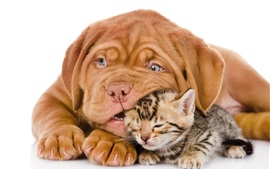 Preview wallpaper Dog with cat, bulldog, kitten