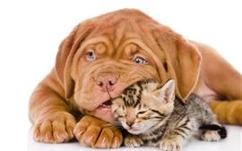 Собака с кошкой, бульдог, котенок