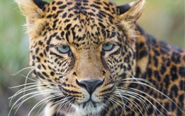 Leopard, wild cat, whiskers, eyes, portrait