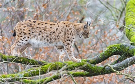 Preview wallpaper Lynx, cat, tree, branches, moss