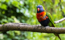Preview wallpaper Multi lorikeet, bird, parrot, colorful, branch, tree