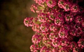 미리보기 배경 화면 핑크 작은 꽃, 여름