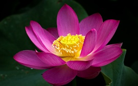 Preview wallpaper Pink lotus flower close-up, green leaves