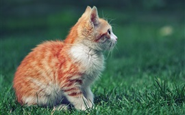 Preview wallpaper Red kitten side view, grass