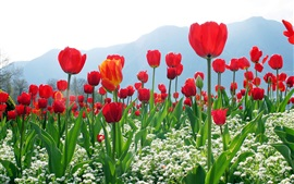 Preview wallpaper Red tulips, flowers, mountains