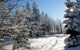 Thick snow winter, trees, spruce