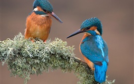 Preview wallpaper Two birds, kingfisher, branch, moss