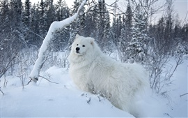 Preview wallpaper White samoyed dog, snow, trees