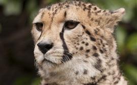 Cheetah, bigodes, olhos, rosto