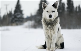 Preview wallpaper Dog, front view, winter
