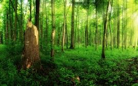 Floresta, verão, árvores, verde, luz solar