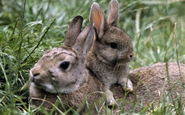 Preview wallpaper Grass, gray rabbit, bunny