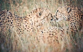 Preview wallpaper Leopards close-up, nature, hidden, grass