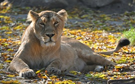 Preview wallpaper Lioness, leisure, look, predator, leaves, autumn
