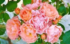 미리보기 배경 화면 핑크 꽃, 꽃잎, 장미 싹
