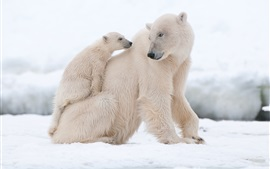 Preview wallpaper Polar bears, snow, white