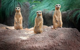 Preview wallpaper Standing, meerkats, family