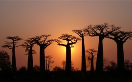 Arbres, baobabs, ciel, lumière, crépuscule