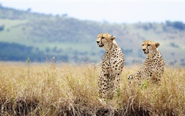 Preview wallpaper Wild cats, cheetahs, couple, grass