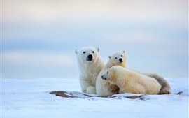 Winter, polar bears, cold, snow
