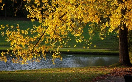 Yellow leaves, tree, autumn, pond, sunlight Wallpapers Pictures Photos Images