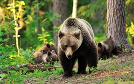 Preview wallpaper Bears family, trees, forest